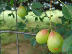 Frutos do imbuzeiro no mês de julho