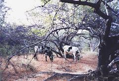 Os bovinos consumindo folhas do imbuzeiro