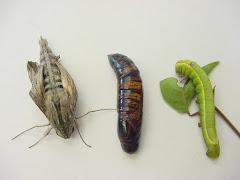 A lagarta do mamãozinho-de-veado