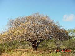 Planta de imbuzeiro na fase de senescência das folhas