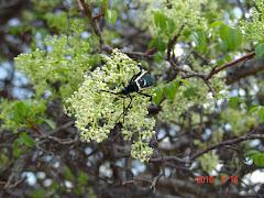 Vespa na flor do imbuzeiro II