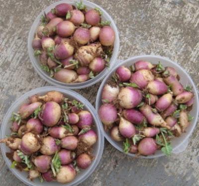 Lotsa little turnips