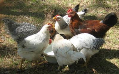 My chickens enjoying a drink