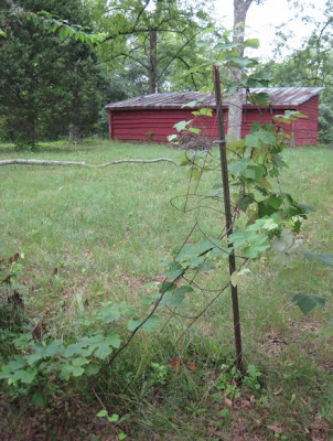 Domestic grape vine - variety unknown