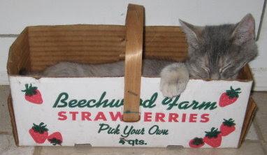 Katy snoozing in strawberry basket