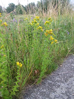 St. John's Wort along the river Nete