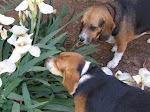 The Wonder Beagles
