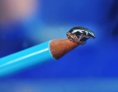 World Smallest Poisonous Frog