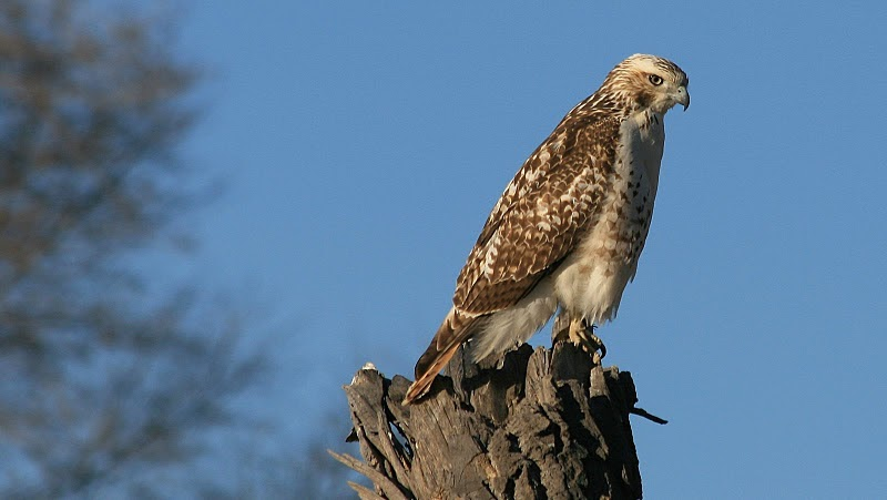 From The Tennessee Plateau Here Is A Quick Hawk Identification Guide