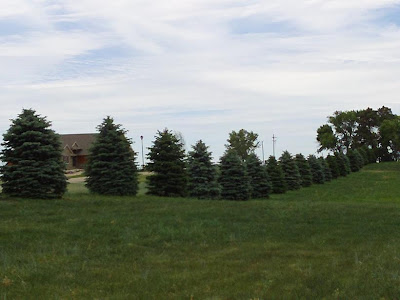 new spruce trees planted on east side of Lake Madison public access area