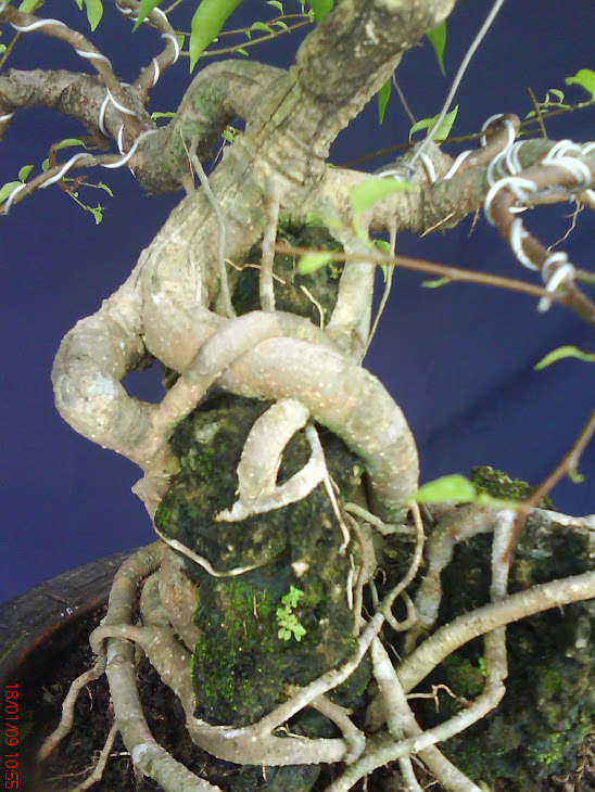 Ficus Benjamina( Beringin)