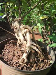 Ficus Retusa (Kiara)