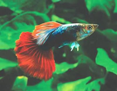 pez-guppy-peces