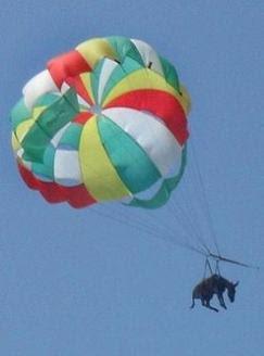 burro-rebuznar-amarrado-paracaidas-golubitskaya-rusia.jpg