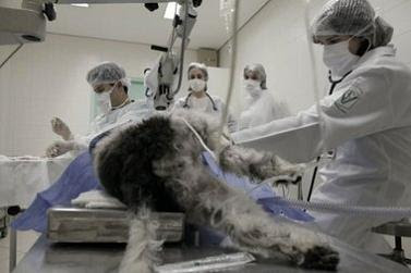 mascota mascotas perro operacion intervencion quirurgica clinica veterinaria
