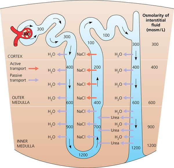 ib biology water transport Ib biology (hl) 61 - c - villi & absorption as discussed in the previous sections capillaries transport amino acids.
