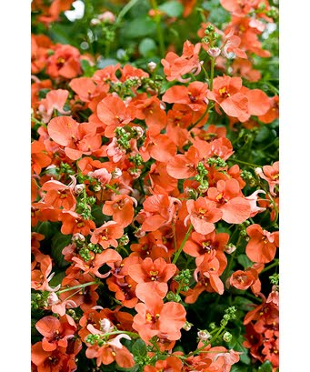 twinspur flirtation orange Plant finder search for more diascia 'flirtation orange' - flirtation® orange diascia diascia 'juliet orange' - juliet orange twinspur diascia 'juliet.