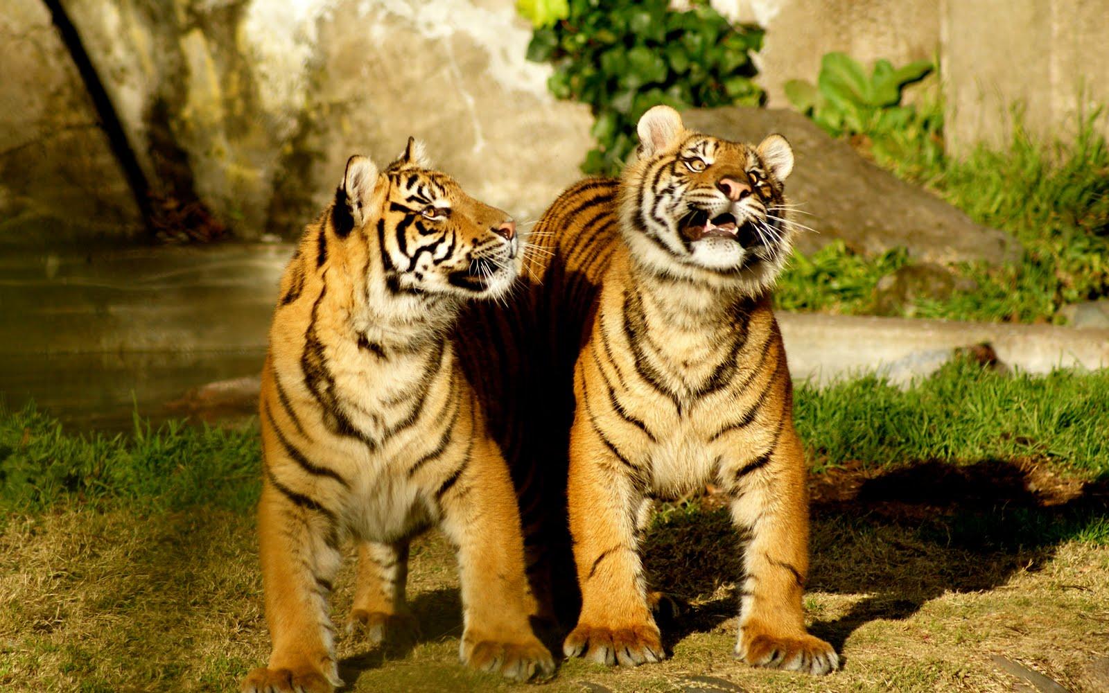 http://2.bp.blogspot.com/_EZ16vWYvHHg/S2MsSunudXI/AAAAAAAAHvk/rx0uf0eynR8/s1600/Tigres-3.jpg