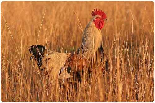 Peticiones especiales: 22 fotografías de gallos o roosters