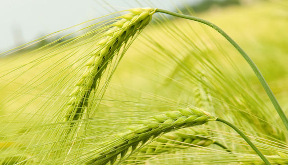 Wheat fields in the prairies (click to download)