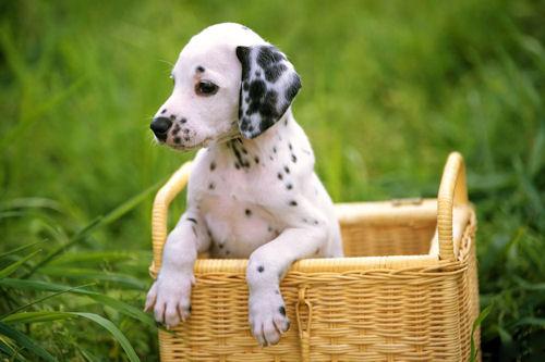 Un lindo perrito dálmata