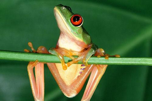 Rana dorada mantella (Golden mantella frog)