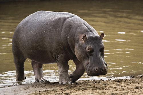 Hipopótamo (Hippo Hippopotamus)