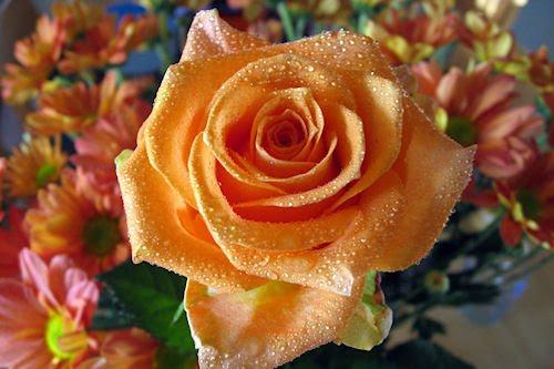 Rosas de colores parte V (7 fotos gratuitas)
