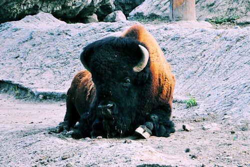 Animales del Bosque de Chapultepec: Bisonte Americano