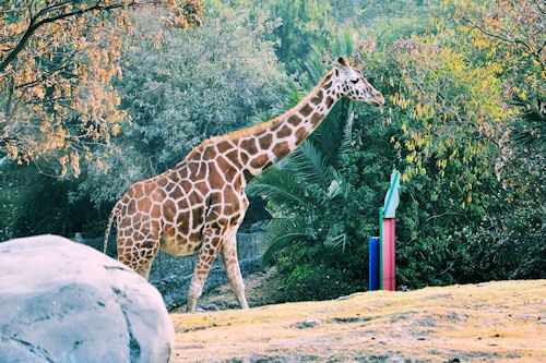 Animales del Bosque de Chapultepec: Jirafa