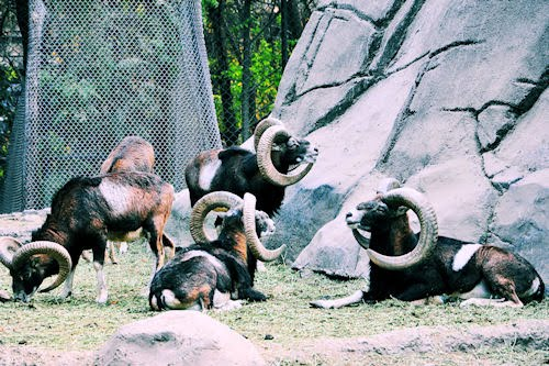 Animales del Bosque de Chapultepec: Borregos Cimarrones