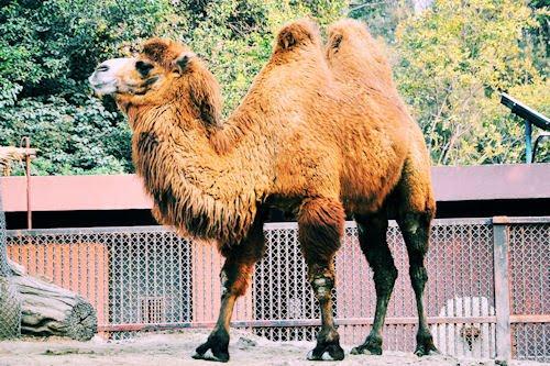 Animales del Bosque de Chapultepec: Camello