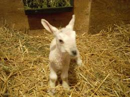 Anid's newborn BFL ewe