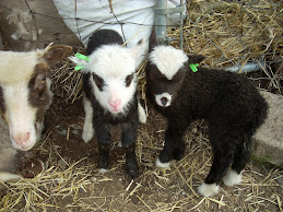 Shetland twins