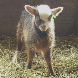 A Favorite Ewe Lamb