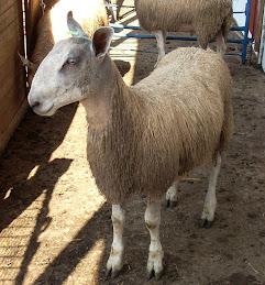 G4 ram lamb BFL