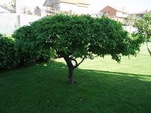 O meu carballo