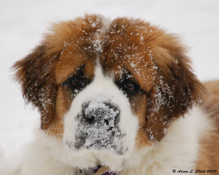 Saint Bernard Puppies in Snow wallpapers