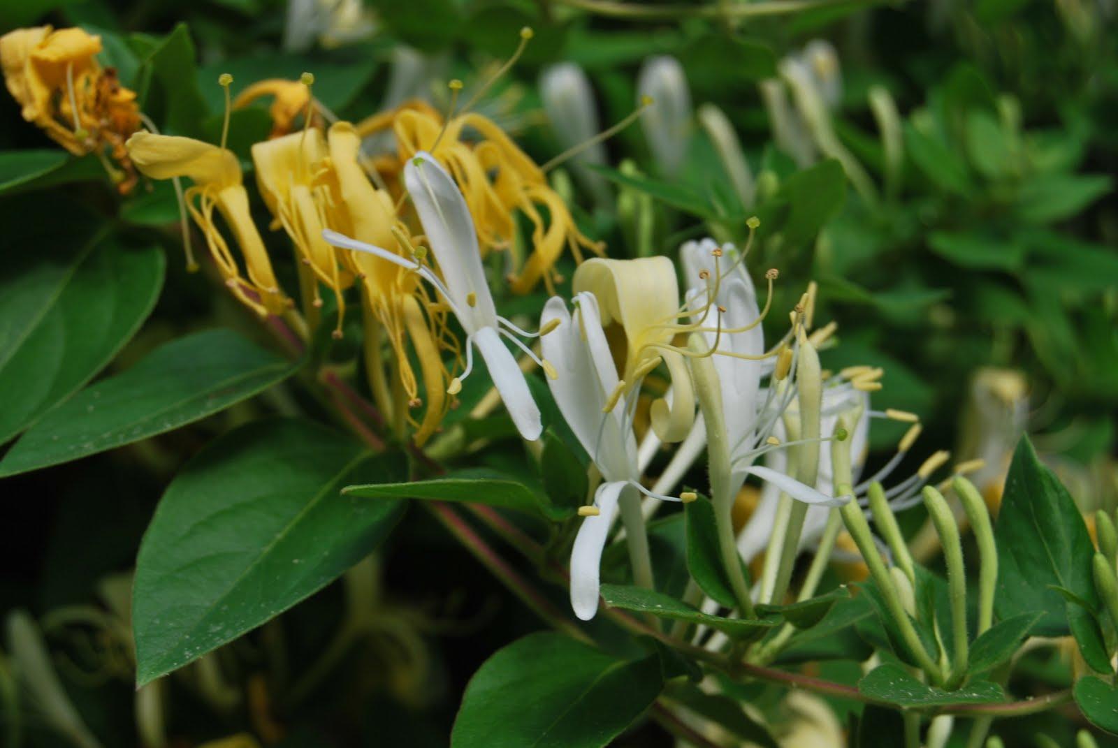 colored garden Honeysuckle flower