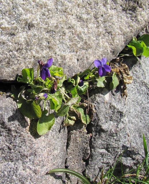 doftvioler viol viola odoratus inspiration lila
