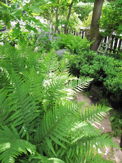 ormbunke skillnad träjon strutbräken woodland