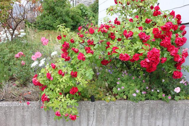 röd ros buskros