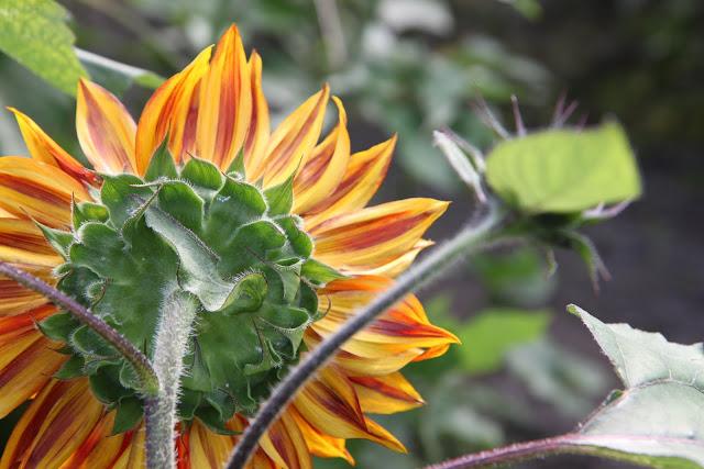 solrosor solros inspiration trädgård