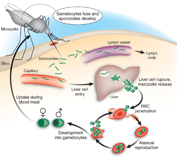 Malaria Life Cycle Diagram