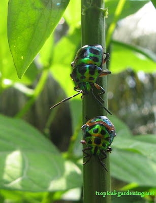 iridescent beetles