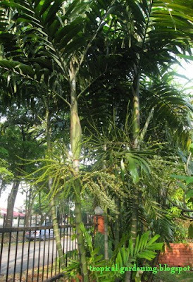 Ptychosperma palm trees