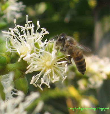 bee collecting pollen on Ptychosperma