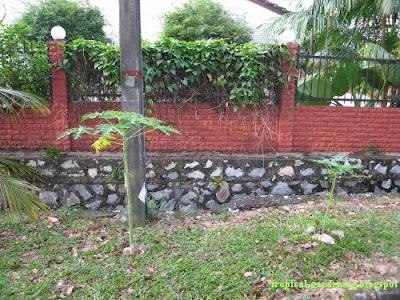organic papaya tree malaysia