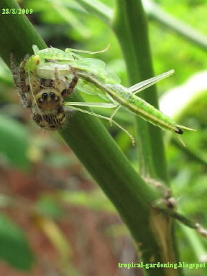 spider eating mantis in Malaysia close up