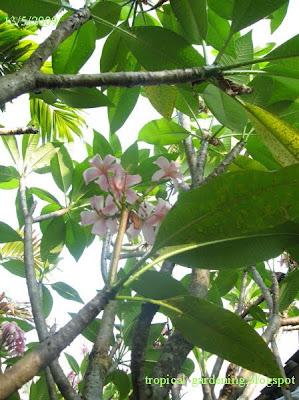 frangipani Plumeria rubra malaysia